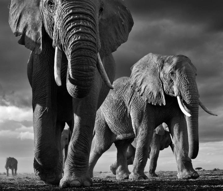 David Yarrow - elephans