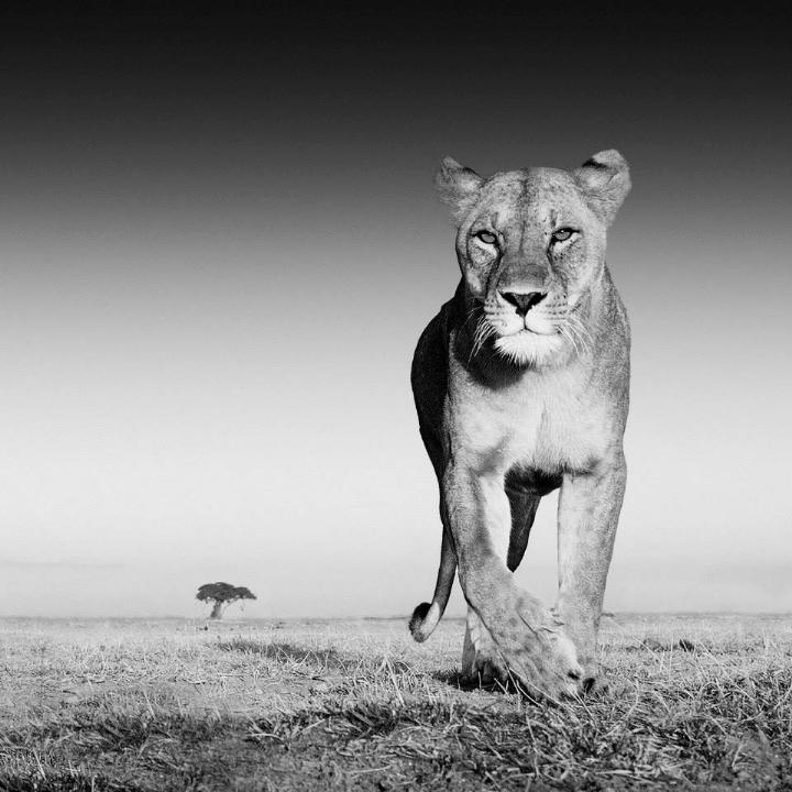 David Yarrow - lion