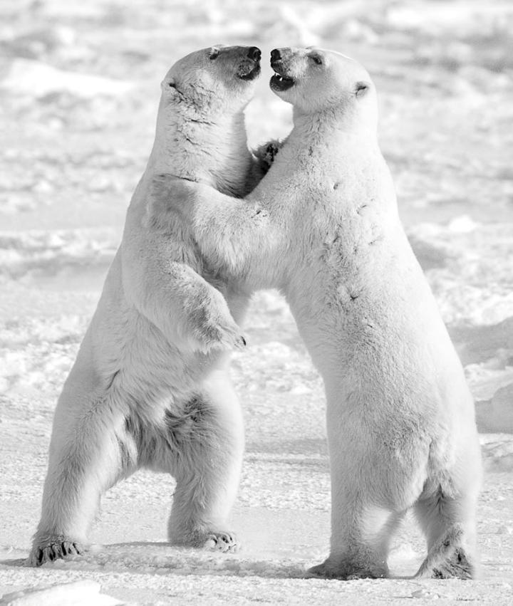 David Yarrow - polar bears
