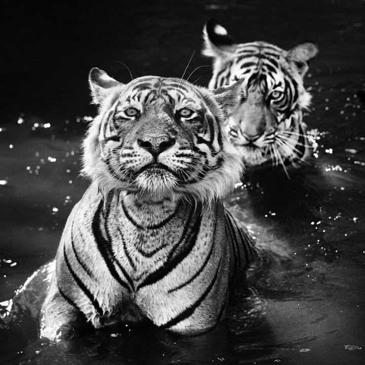 David Yarrow - tigers