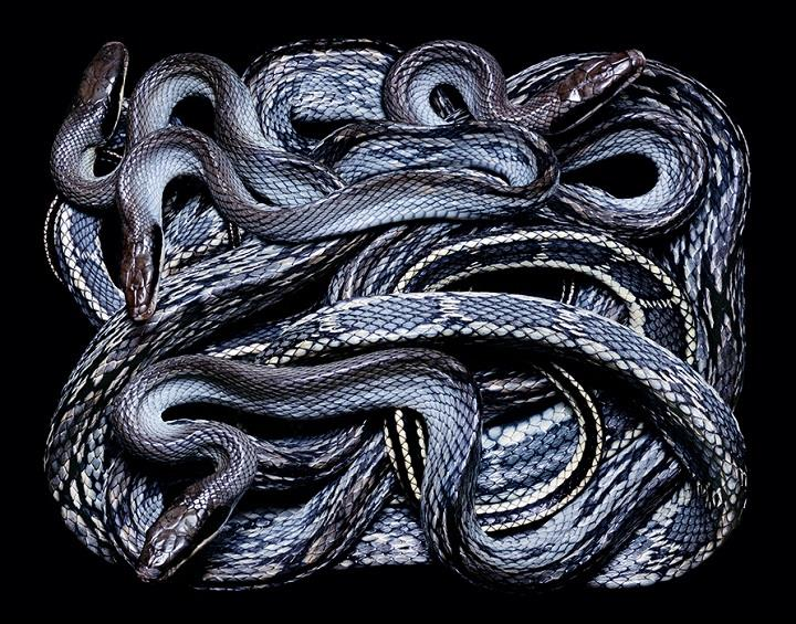 Guido Mocafico - dark blue snakes